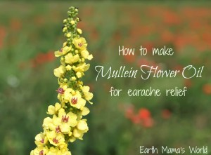 How to make Mullein Flower Oil for earache