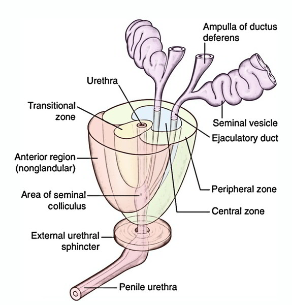 Diagram Of Kidney And Adrenal Gland