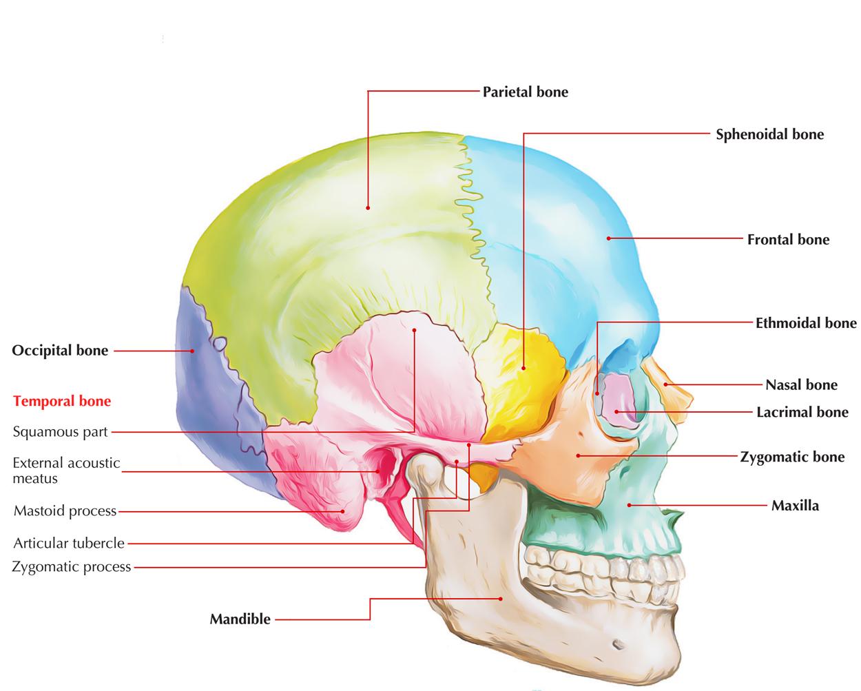 On Base Of Skull Mandibular Fossa