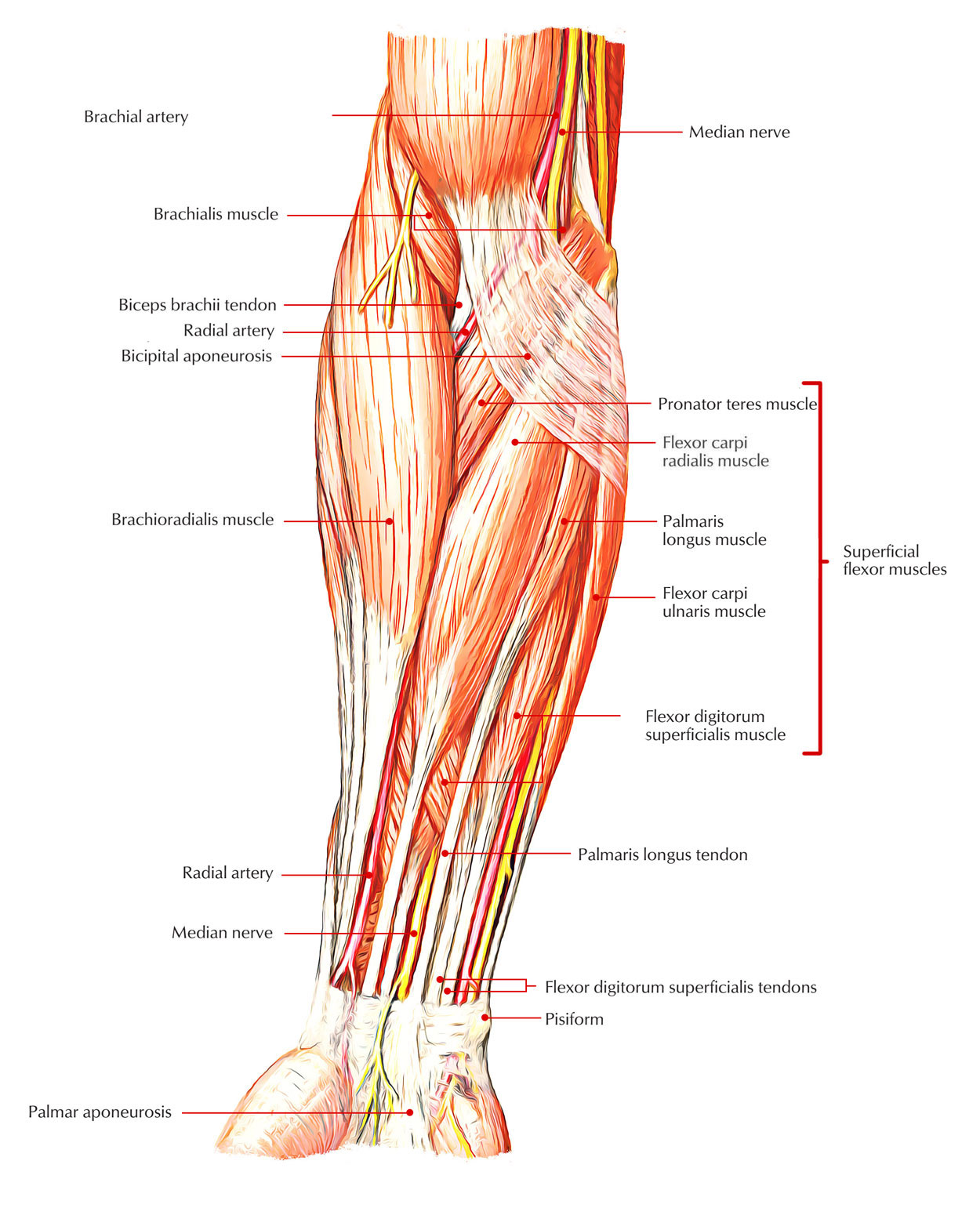 Easy Notes On Muscles Of The Anterior Or Front Of The