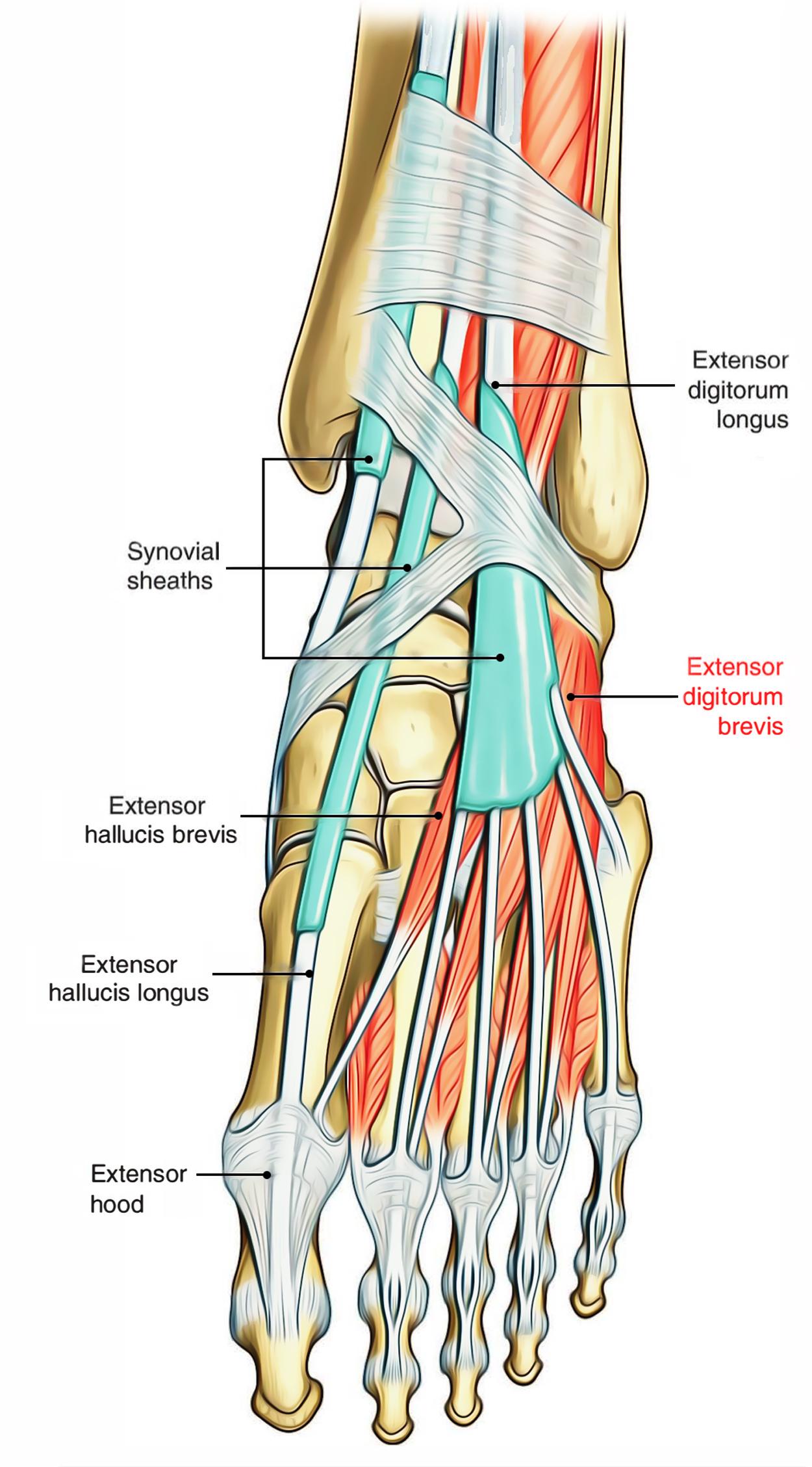 Fibularis Longus Tendon In Foot