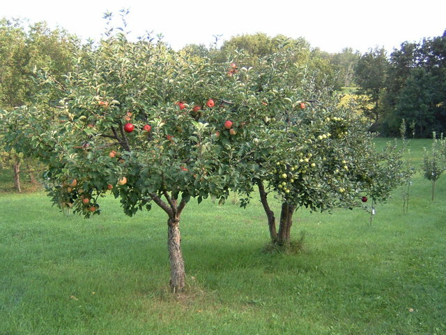 Image result for two orchard trees + image