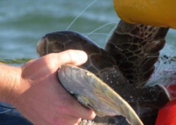 Tracking Green sea turtles in Mexico