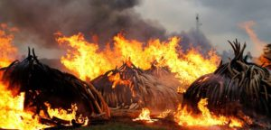 Burning Ivory stock piles (Kenya)