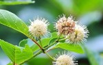 Shilpa's Wildflower Highlights » Buttonbush