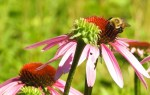 Help our Insects ▹ Join the Somerville Pollinator Project!