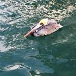 Sleeping Pelican - Alonzo's