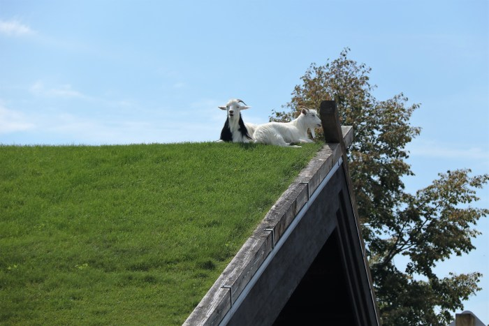 Roof goats, A.L. Johnson's Swedish Restaurant
