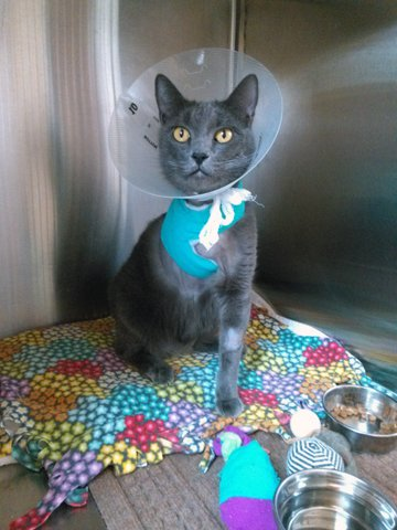 Downy is a three-year-old grey shorthair cat whose veterinarian recommended a leg amputation as a precaution against a cancerous growth.