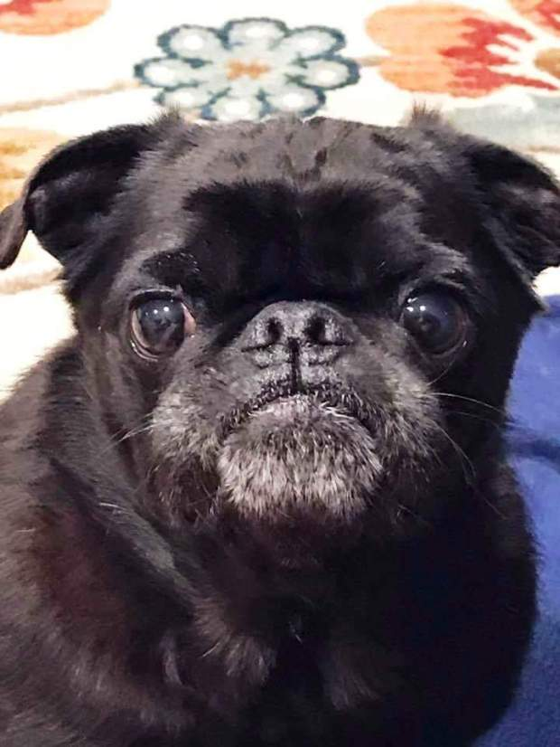 Pye is the Pug Rescue Pet of the Week for May 19.