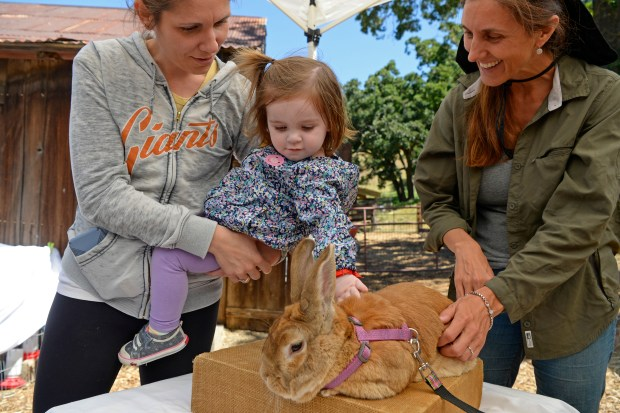 """Ashley Dawson leans over as her daughter Paige Dawson, 2, pets """"Lucky"""" the rabbit as Tiffany Day with Pleasant Hill 4H smiles during the Old Borges Ranch Day in Walnut Creek, Calif., on Saturday, May 13, 2017. (Jose Carlos Fajardo/Bay Area News Group)"""