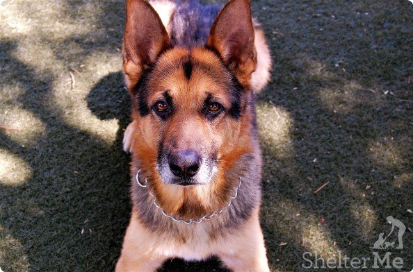 Hutch is a neutered German shepherd. The 8-year-old dog's adoption numberis A123696. The shelter's featured pets, and many other animals, are available from Antioch Animal Services, 300 L St. The center is open from 10 a.m. to 5 p.m. Tuesday, Wednesday, Thursday and Friday; and 10 a.m. to 4 p.m. Saturday. All of the pets from the center can be viewed at www.shelterme.com. Call 925-779-6989 . Courtesy Monika Helgemo