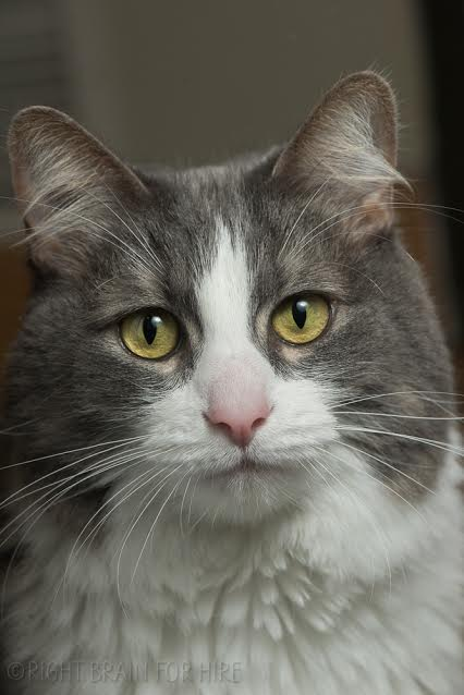 Rocket, a 7-year-old domestic medium hair male cat, is the East Bay SPCA's pet of the week.