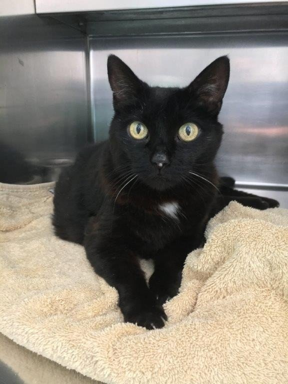 Emery is a female black and white domestic shorthair. The 6- year-old cat'sadoption number is A125166. The shelter's featured pets, and many other animals, are available from Antioch Animal Services, 300 L St. The center is open from 10 a.m. to 5 p.m. Tuesday, Wednesday, Thursday; 10 a.m. to 2 p.m. Friday; and 10 a.m. to 5 p.m. Saturday. All of the pets from the center can be viewed at www.shelterme.com. Call 925-779-6989 . COURTESY CAT COTTLE