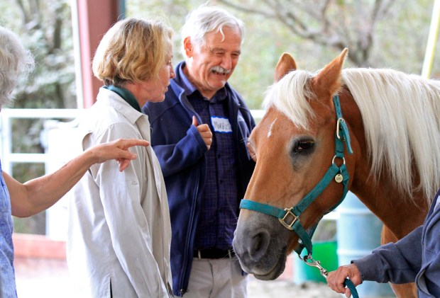 Morris Beatus learns to groom Kiwi, a haflinger horse, with Tineke Jacobsen, Xenophon physical therapist, at Xenophon Therapeutic Riding Center in Orinda, Calif., on Wednesday, Sept. 13, 2017. Connected Horse and Xenophon Therapeutic Riding Center are offering Equine Guided Workshops for people living with early stage dementia and their care partners. (Laura A. Oda/Bay Area News Group)