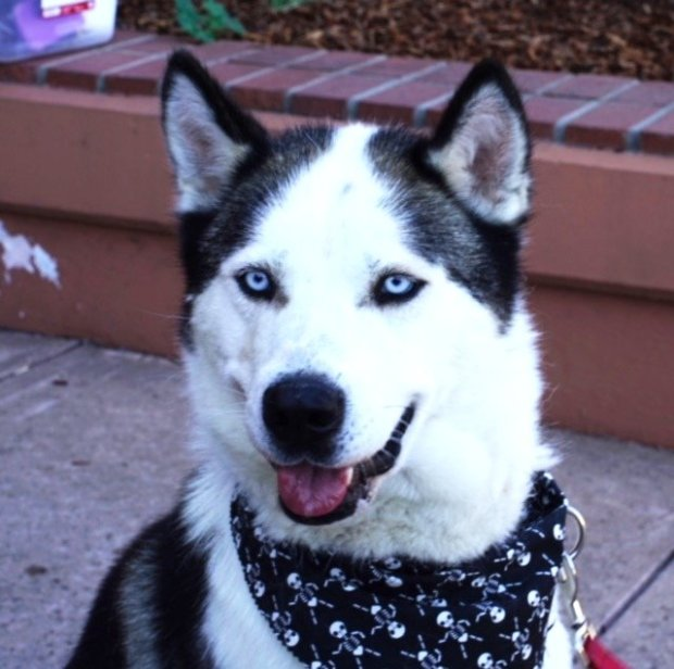 Boris is the Norsled Pet of the Week for Nov. 17(Courtesy of Norsled)