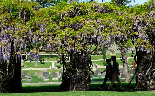 Wisterias bloom over a path where many residents walk at the Mountain View Cemetery in Oakland on March 23, 2015. (Laura A. Oda/Staff archives)