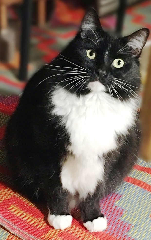 Maine Coon Adoptions is the Pet of the Week for Feb. 9(Maine Coon Society)