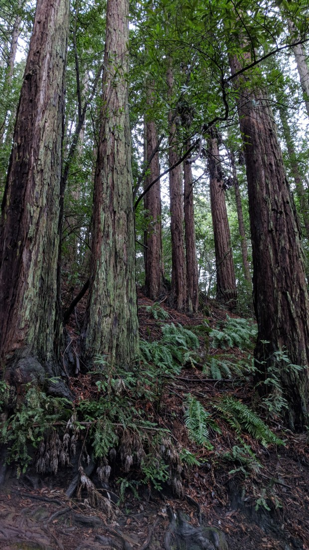 There are a few of the redwoods along Palos Colorados in Joaquin Miller Park in Oakland. (Courtesy of Stan Dodson)