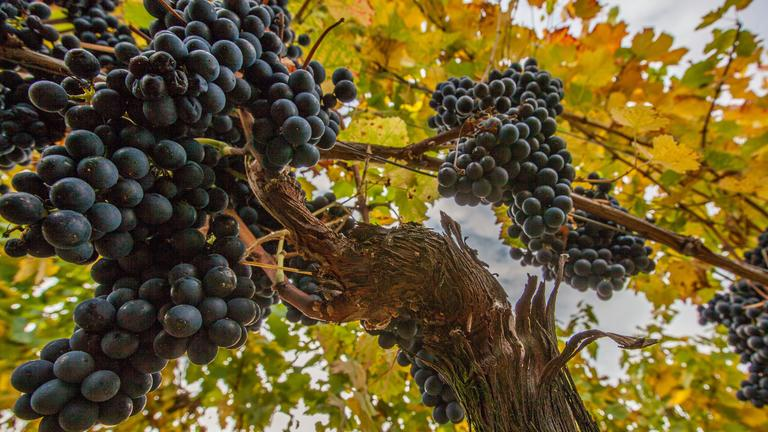 Winelands Package Grapes