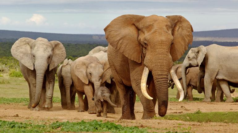 Greater Addo Elephants
