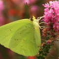 Sulphur-Butterfly2