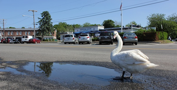Swans don't celebrate Bloomsday, but they should.
