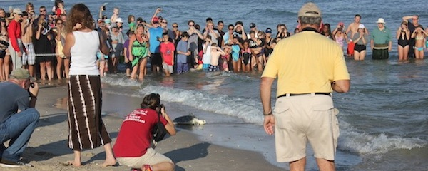 Crowds cheered on five sea tortles returned to the sea in Hampton Bays by The Riverhead Foundation Saturday evening | Isaac Greinke photo