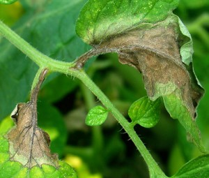 Late blight on a tomato plant | Courtesy Cornell University horticultural research laboratory