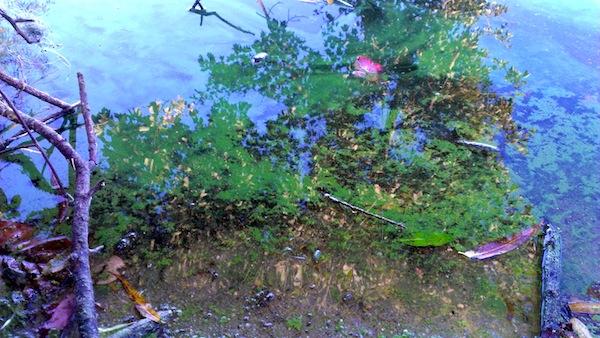 Blue-green algae in Marratooka Lake