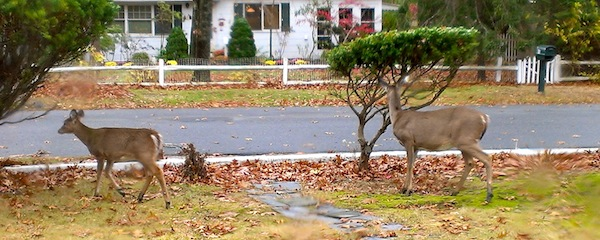 Deer move in to the suburbs.