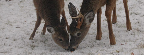 East End deer in the snow | Photo Courtesy of Romaine Gordon for East Hampton Group for Wildlife