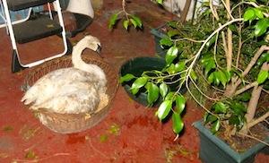 The Lone Swan of Goldsmith Inlet | Courtesy Rick Kedenburg