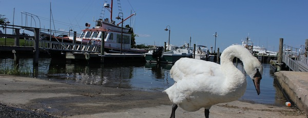 This swan may be ashamed of his virility, but he is still a swan. Humans, however, are another matter.