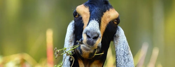One of the Cihaneks' goats, Mozart, gets to work munching greens in Pennsylvania | Green Goats photo