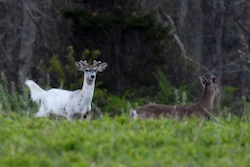 A piebald deer at SoFo | Evan Marks photo