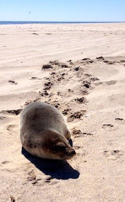 This seal may want to bite you | Riverhead Foundation Photo