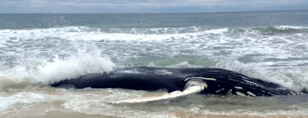 A humpback whale washed up on the ocean shore in Westhampton Beach late Tuesday |  Riverhead Foundation Facebook photo