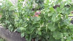 June peas