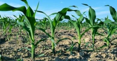 Corn Cutchogue