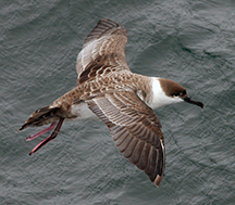 Greater Shearwater by Artie Kopelman