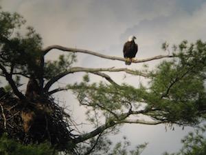 Eagle Rondout