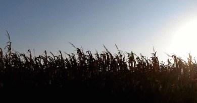 Corn Stalkers