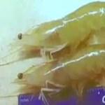 Some of Celestial Shrimp's Pacific white shrimp