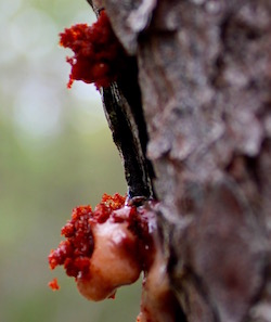 Trees infested with southern pine beetles exude popcorn-shaped bubbles of sap in an attempt to expel the beetles.