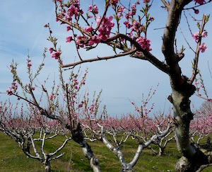 Also, pretty peach blossoms. Happy Earth Day!