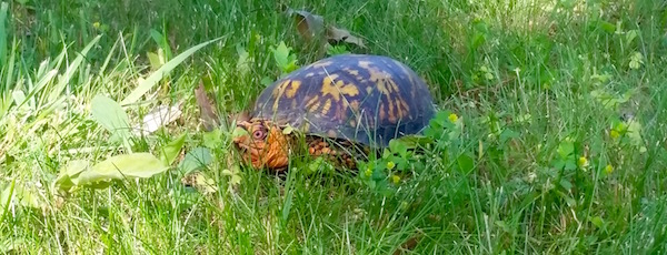 Tis the season to look out for turtles on the highways and near your lawn mower blades.