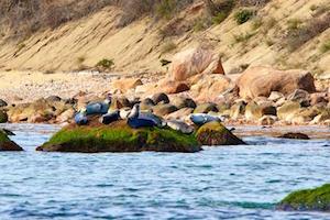 Plum Island Seals   Robert Lorenz Photography
