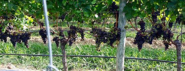 On the vine, Southold