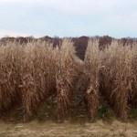 In November's Corn
